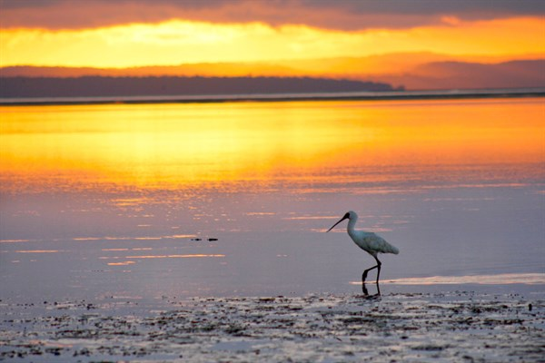 Copy Of 59_A Spoonbill Strolls The Shore Of Woody Island In A Golden Dawn