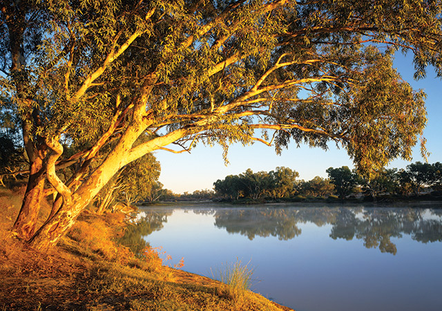 Tree Next To Cooper Creek And Coongie Lakes South Australia