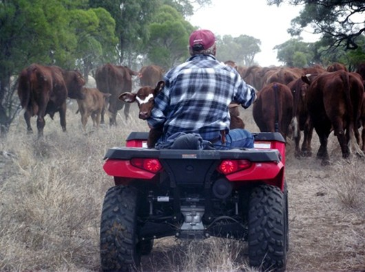 Man Sitting On Tractor With Cows