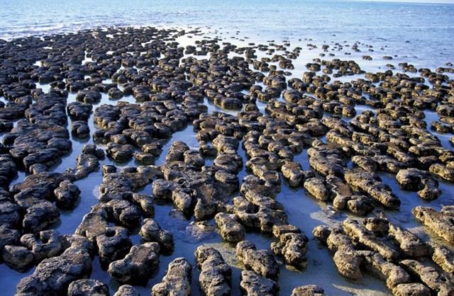 Stromatolites Hamelin Pool Shark Bay