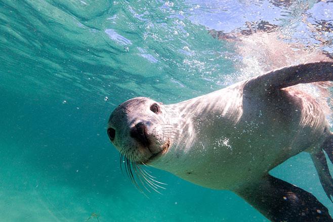 Sea -Lion