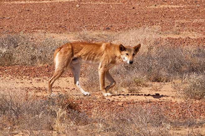 Lake -Eyre -dingo