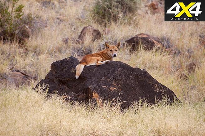 Dingo sitting on a rock
