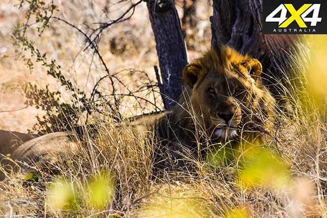 Lions -lazing -around