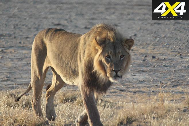 Lion watching us