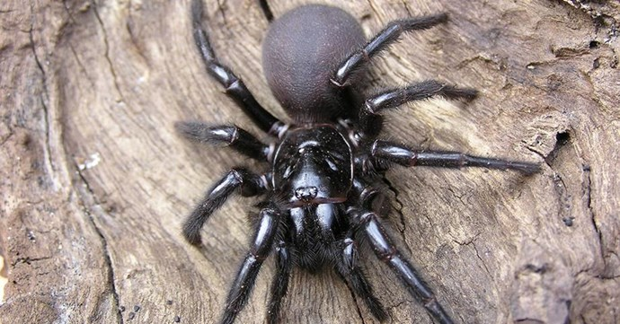 A funnel-web spider