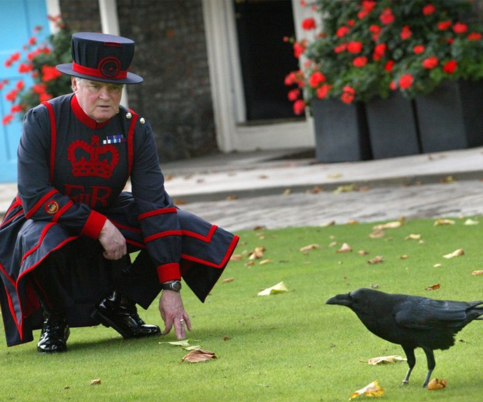 Ravenmaster Derrick Coyle looks at one of the ravens at the Tower of London.