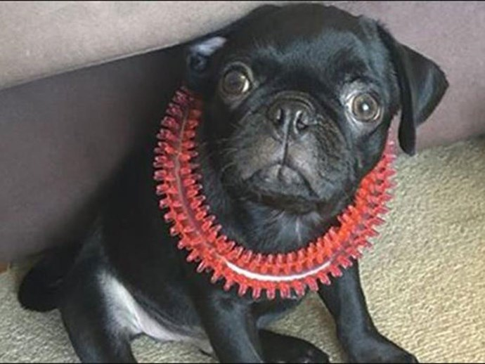The 'devastated' pug owner pleaded guilty in court to making up a robbery.