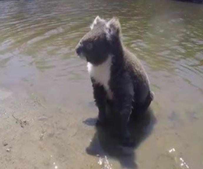 The cute koala pre-swim.