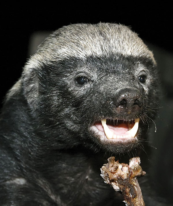 e3a2288e0c8 Do you see the resemblance? Slide across to see Nick Cummins vs. a  real-life Honey Badger