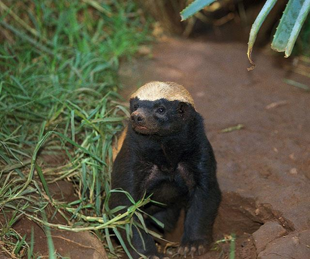 Cute but psycho, the honey badger is the secret king of the jungle!