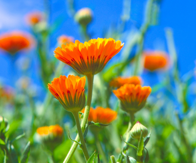 Calendula oil is cheap, particularly if you make it yourself.
