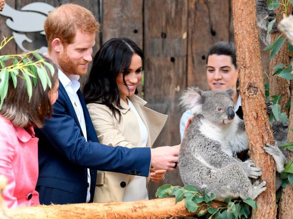 The royal parents-to-be lean in for the koala pat.