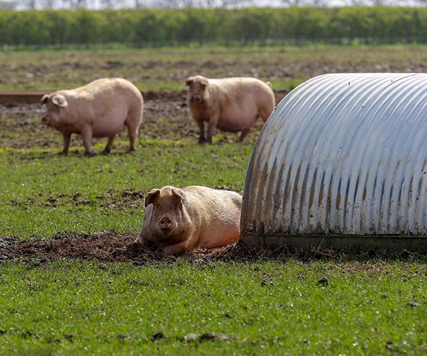 Her pigs were grazing in the communal lawn.