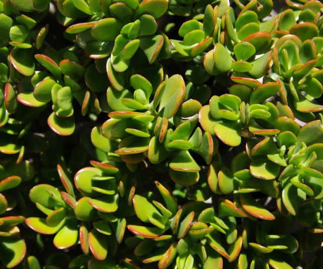 **Jade (Crassula ovata):** This plant is safe for kids, but toxic to your pets. Easy to care for and easy to harvest. You can snap some off, stick it in soil and in a few weeks a new plant will grow. It prefers warm, dry conditions, so you won't need to water too often. *Image: Getty Images.*