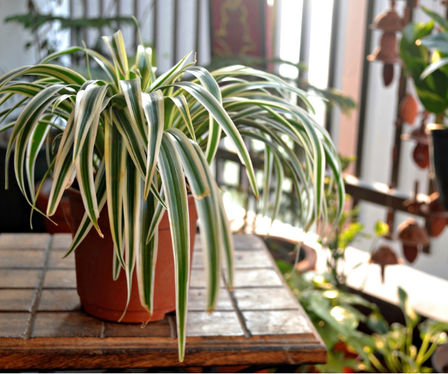 **Spider Plant (Chlorophytum comosum):** This super-tough plant is safe for kids, and safe for pets and neither of them will be able to destroy it. Winning! *Image: Getty Images.*