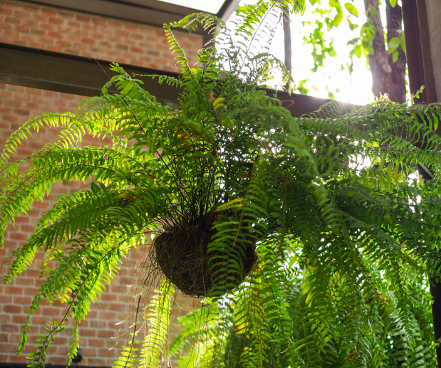 **Boston Fern (Nephrolepis Exaltata):** You'll surely be familiar with this hardy fern. Safe for both kids and pets, it graces many a home. With the rare requirements of needing cool, humid places with indirect sunlight, it's perfect for the lonely corners of your home. *Image: Getty Images.*
