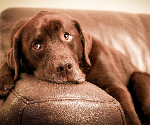"""**Labrador:** """"Lots of energy in first two - five years!"""" *Image: Getty Images.*"""