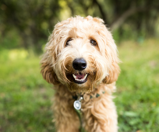 "**Labradoodle:** Good but, like the Cavoodle very popular so choose your breeder carefully. Not always non-shedding! Can vary in size so check before buying."" *Image: Getty Images.*"