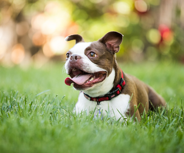 "**Boston Terrier**: ""Very popular, very expensive! Cannot exercise extensively so a great house dog."" *Image: Getty Images.*"
