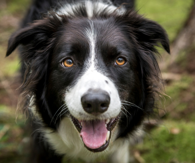 "**Border Collie:** ""Only for the very energetic family, those that run or are willing to do dog sports and training. Perhaps better with teenagers than young children."" *Image: Getty Images.*"