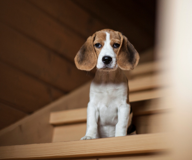 "**Beagle:** ""Ruled by their noses e.g. will find kids' lunches in their school bags and steal!"" *Image: Getty Images.*"