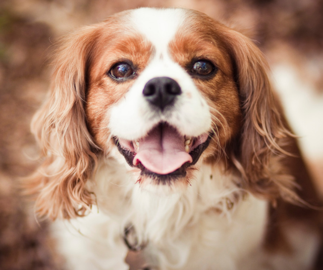 "**Cavalier King Charles Spaniel:** ""Great dog but make sure you get a healthy dog from a good breeder."" *Image: Getty Images.*"