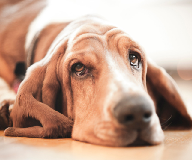 "**Basset Hound:** ""Hounds need to use their noses a lot - be prepared for a lot of sniffing!"" *Image: Getty Images.*"