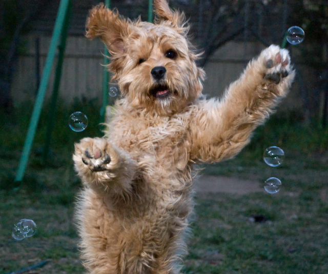 """**Cavoodle:** """"Good but very popular so choose your breeder carefully. Be aware that they're not always non-shedding!"""" *Image: Getty Images.*"""