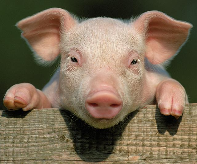 Good news piggies! *(Image: Getty Images)*