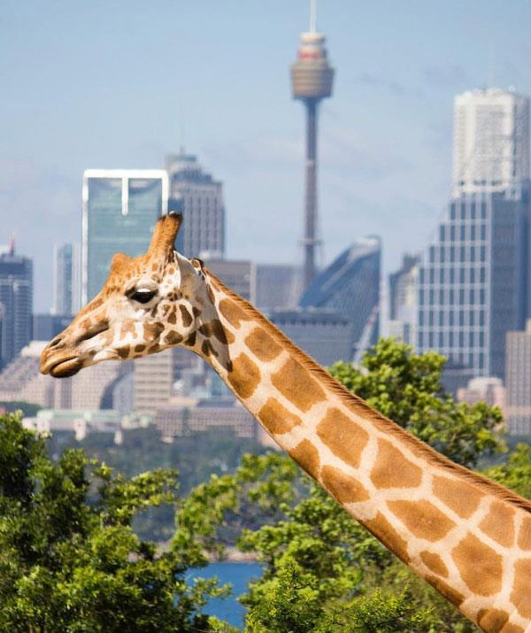 The giraffes enjoy one of the best views Sydney has to offer. *(Image: Instagram)*