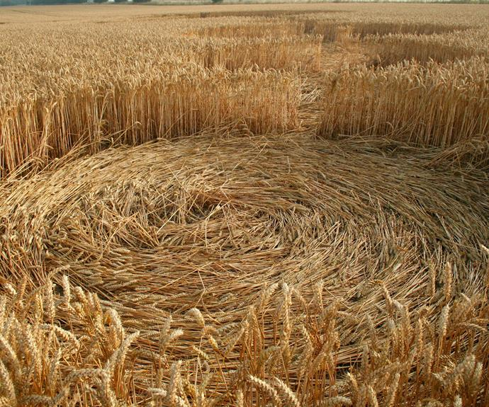 A crop circle up close.