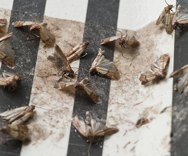 How to get rid of pantry moths   Australian Women's Weekly