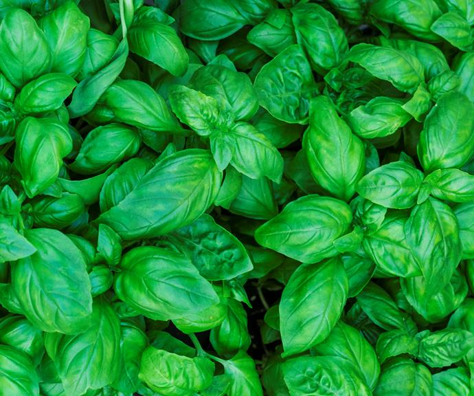 Basil is one of the tastiest and most versatile herbs.