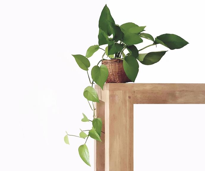 This easy-to-grow houseplant will fight off common household toxins.