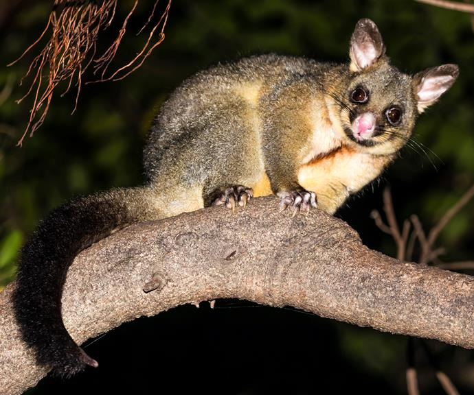 Here's how to make possums your friend.