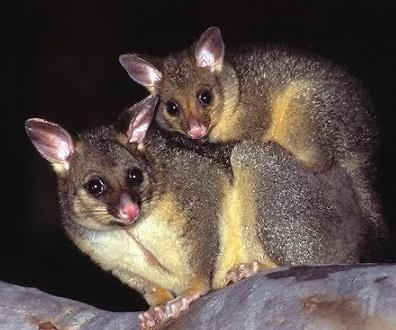 Don't let possums get the better of your garden!