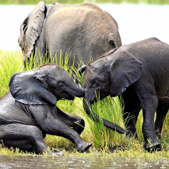 Baby elephants playing in Botswana. Could Prince Harry have taken these?