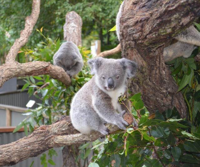 **Kuranda Koala Gardens:** For a dose of wildlife fun, Kuranda Koala Gardens is the place to be. Crocodiles, kangaroos and wallabies, wombats, lizards, monitors bird shows and of course, beautiful koalas!