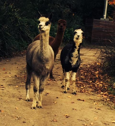 There are alpacas roaming around the property, too.