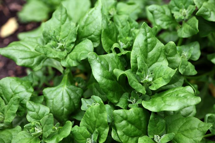 Warrigal greens are also known as New Zealand spinach.