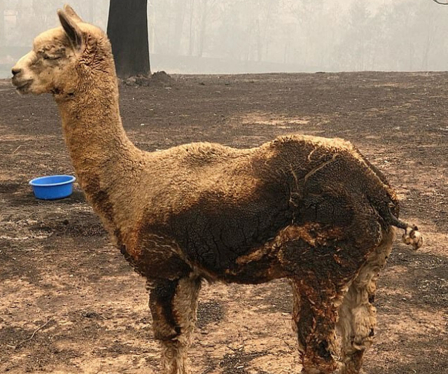 This alpaca's fur had been burnt in the fires.