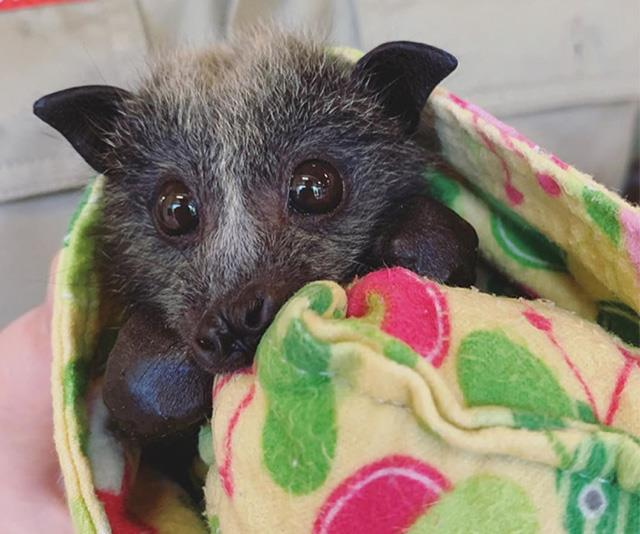 """Bear' is one of the hundreds of baby fruit bats that lost their homes in the horrific NSW fires,"" Robert wrote on Instagram.  ""We're doing our best to treat every animal we can - but unfortunately millions of other creatures are not as lucky as this little guy. Thank you to all of the firefighters on the frontline - if you want to help, please support local fire crews. You can find out more about our wildlife hospital and how to donate at [wildlifewarriors.org](http://wildlifewarriors.org/