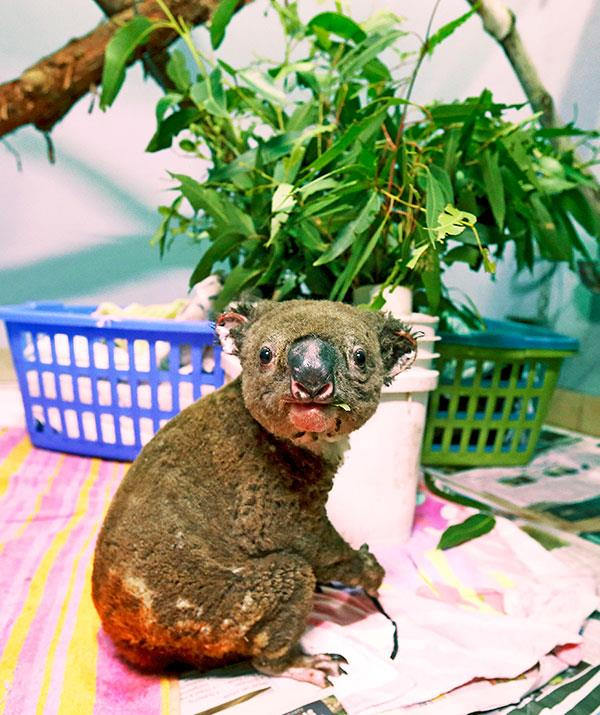 Australia's already at risk koala populations have been devastated by these bushfires, in which over half a billion animals have already perished. WIRES wildlife rescue is one organisation working to save and nurse surviving animals.