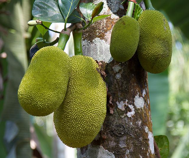 This is what the jackfruit plant looks like in the wild.