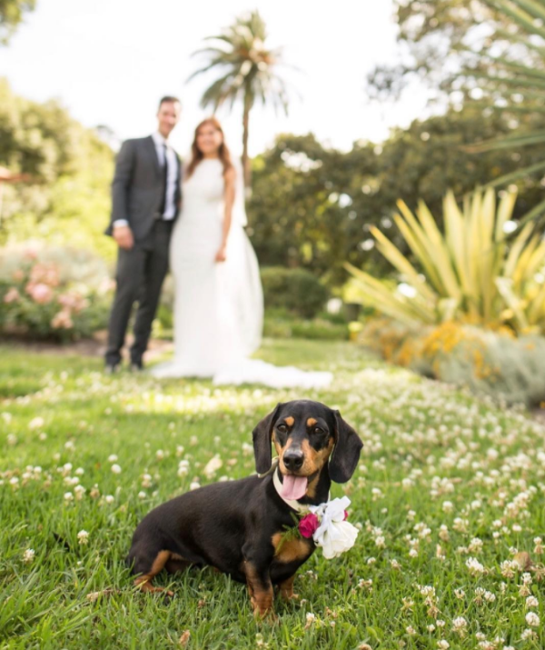 Frankie was the flower dog at his owner's wedding.