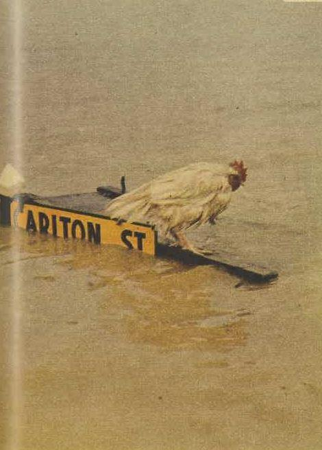This rooster floated until stopped by a road sign - it was saved by the photographer.