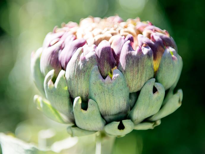 Artichokes love hot, dry summers and fairly cold winters.