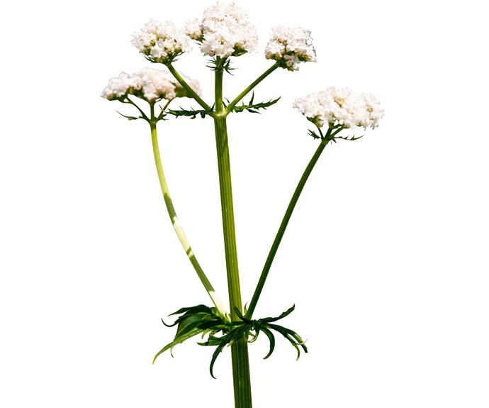 Cats are attracted to the fragrant flowers and jagged leaves of the Valerian plant.