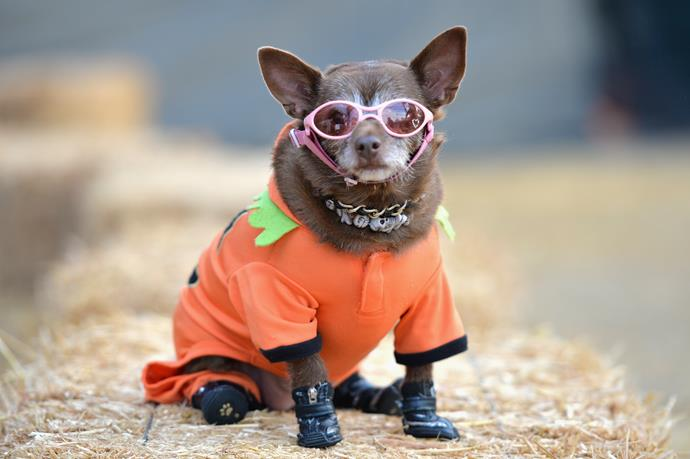 "Is this dog dressed as the lesser known spice girl ""Pumpkin spice""?"